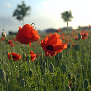 Poppy_field_feature