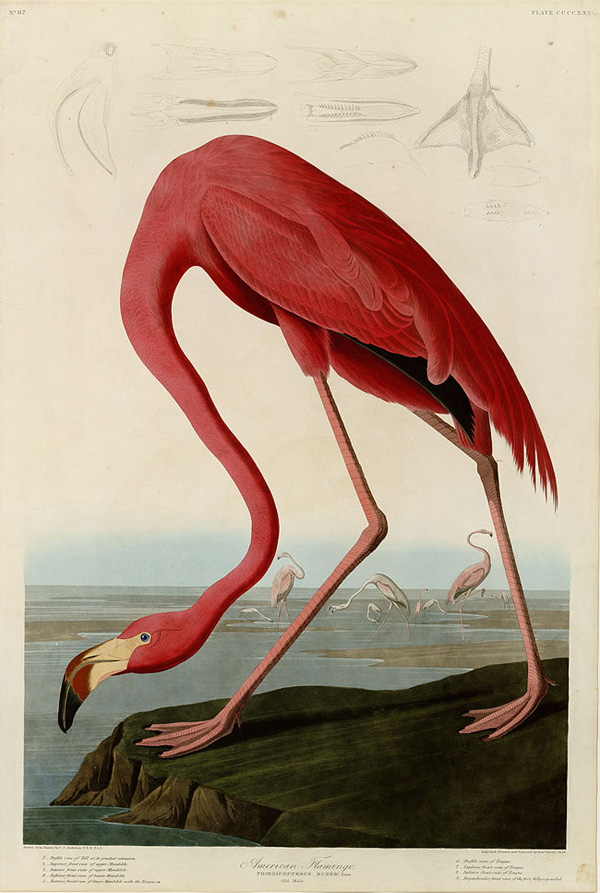 Plate 431 of <i>Birds of America</i> (1827–38) by John James Audubon depicting American Flamingo. University of Pittsburgh/Wikimedia Commons