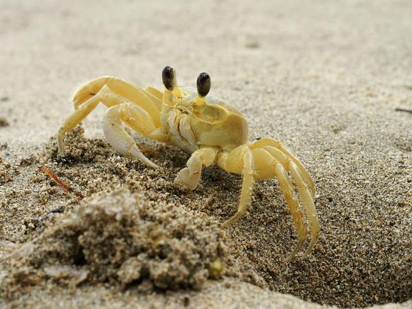 Atlantic ghost crab (<i>Ocypode quadrata</i>) emerging from its burrow in Cahuita, Costa Rica. Hans Hillewaert/Wikimedia Commons