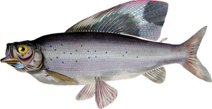 Arctic grayling (<i>Thymallus arctics arctics</i>). Illustration by John Curtis for Sir John Franklin's <i>Narrative of a Journey to the Shores of the Polar Sea in the Years 1819–22</i> (London: John Murray, 1823). Wikimedia Commons