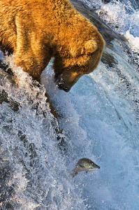 Grizzly bear (<i>Ursus arctos horribilis</i>) catching salmon at Brooks Falls in Katmai National Park, Alaska. Dmitry Azovtsev/Wikimedia Commons